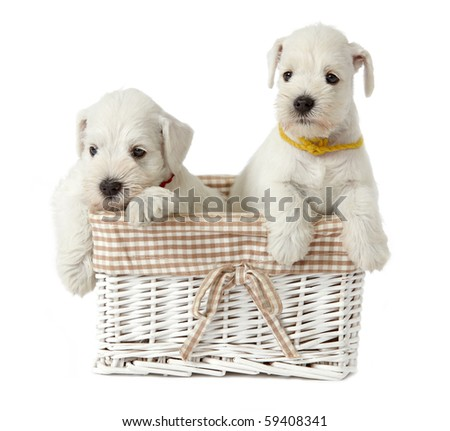 puppies in a basket - stock photo