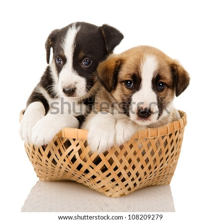 puppies in a basket. isolated on white background - stock photo