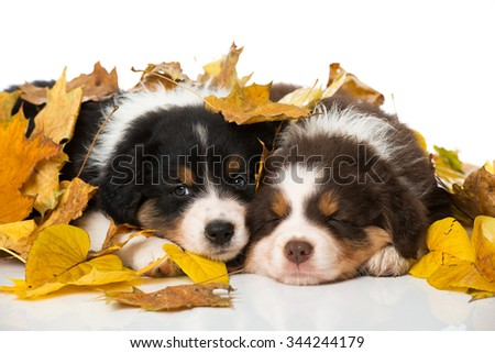 Puppies in autumn leaves - stock photo
