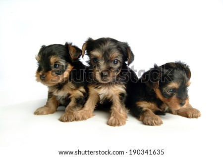 puppies isolated over white background - stock photo