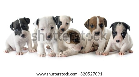 puppies jack russel terrier in front of white background