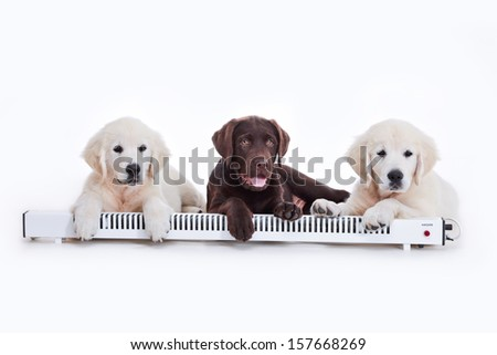 puppies labrador retriever, yellow and chocolate, heat, heater - stock photo