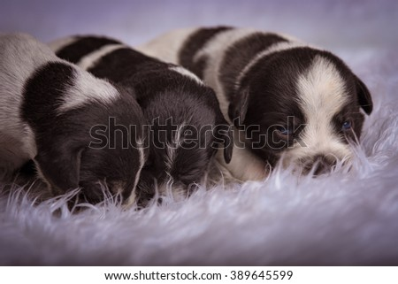 Puppies laying on a white fuzzy blanket - stock photo