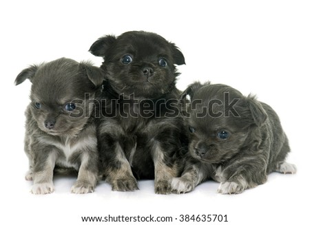 puppies longhair chihuahua in front of white background - stock photo