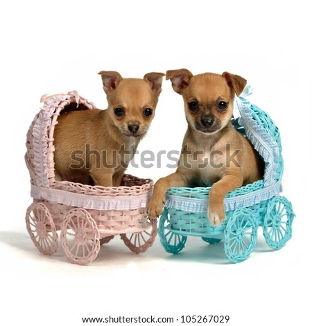 Puppies male and bitch in baby carriages, isolated on white - stock photo