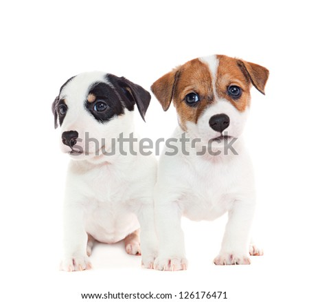 puppies 2 months old, sitting in front of white background - stock photo