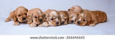 Puppies of American cocker spaniel on a white  background. Two weeks old.  - stock photo