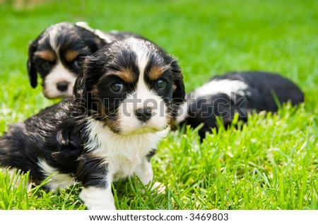 Puppies of cavalier king charles spaniel lying on the grass - stock photo