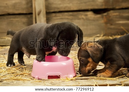 Puppies of dachshund near bowl with milk - stock photo