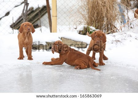 Puppies of Hungarian Short-haired Pointing Dog together on frozen lake
