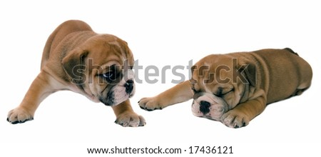 Puppies of the English bulldog on a white background