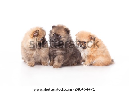 Puppies on white background. Funny little puppy Spitz. spitz puppy on white background, pomeranian puppy the age of 2 month  - stock photo