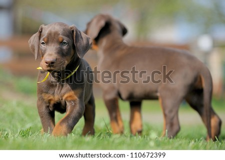 puppies playing - stock photo