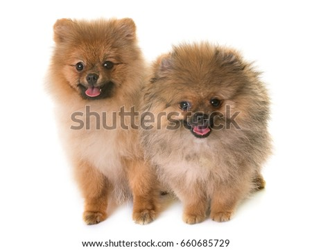 puppies pomeranian dog in front of white background