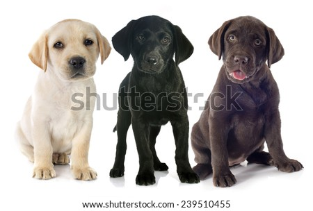 puppies purebred  labrador retriever in front of white background - stock photo