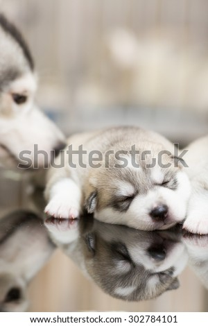 Puppies Siberian husky sleeping on - stock photo