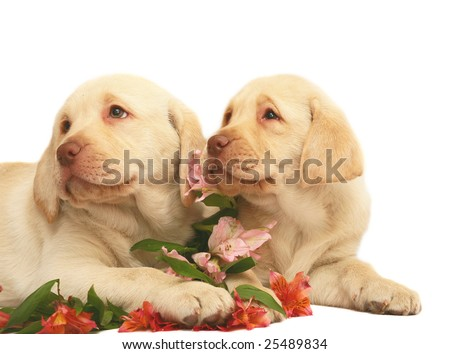 Puppies with lilies on a white background.