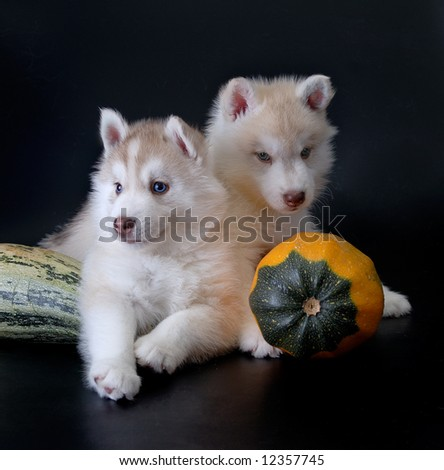 Puppies with pumpkin - stock photo