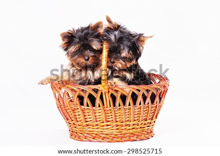 Puppies York sitting in a basket on a white background . Playful puppies indulge near each other. Looking at the camera . - stock photo