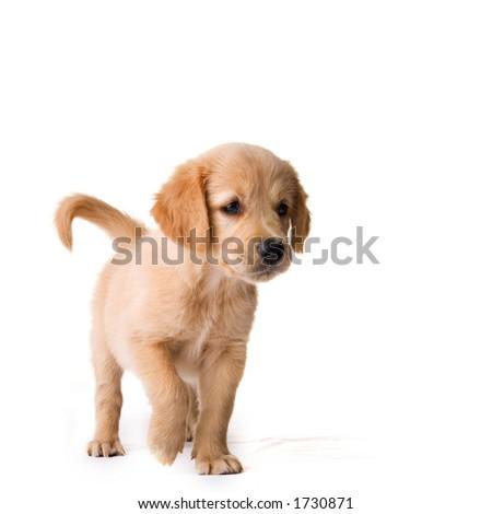 puppy - stock photo