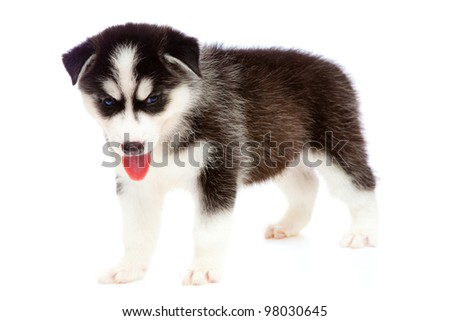 puppy a husky on a white background is isolated.