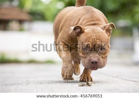 puppy american bully - stock photo
