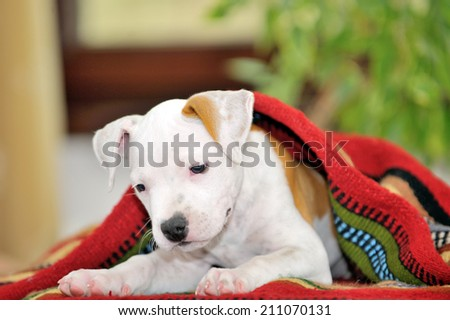 Puppy American Staffordshire Terrier  playing - stock photo