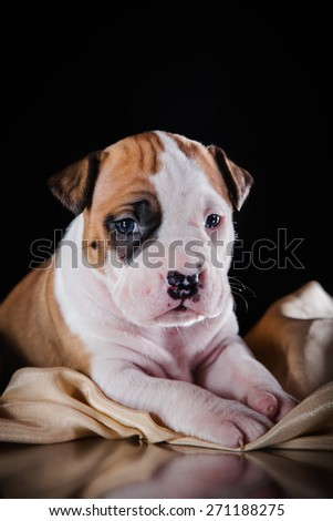 Puppy American Staffordshire Terrier, studio portrait dog on a color background