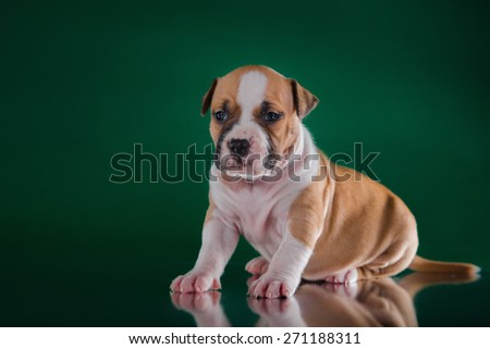 Puppy American Staffordshire Terrier, studio portrait dog on a color background - stock photo
