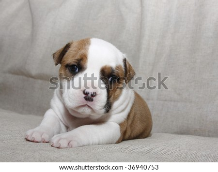 Puppy American Staffordshire Terrier (3 weeks) - stock photo