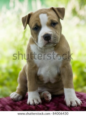 Puppy American Staffordshire Terrier (5 weeks) - stock photo