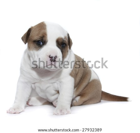Puppy American Staffordshire Terrier (3 weeks) isolate - stock photo