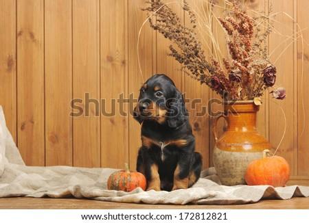 Puppy and accessories, horizontal, studio - stock photo