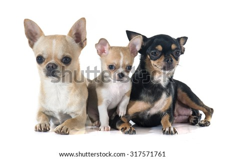 puppy and adult  chihuahua in front of white background