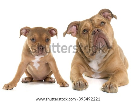 puppy and adult old English bulldog in front of white background - stock photo