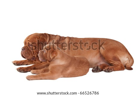 Puppy and dogue de bordeaux lying next to one another