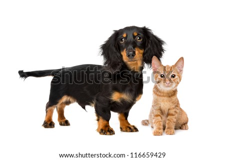 Puppy and kitten in front of a white background - stock photo