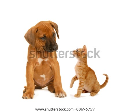 Puppy and kitten looking one on each other, on white isolated background.