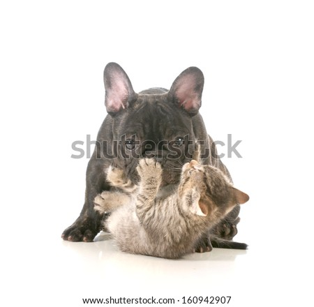 puppy and kitten playing - french bulldog puppy being attacked by a young playful kitten isolated on white background