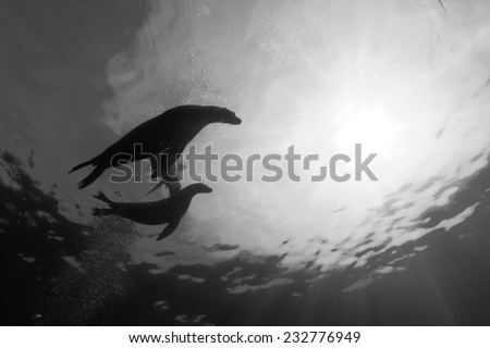Puppy and mother sea lion silhouette underwater in black and white - stock photo