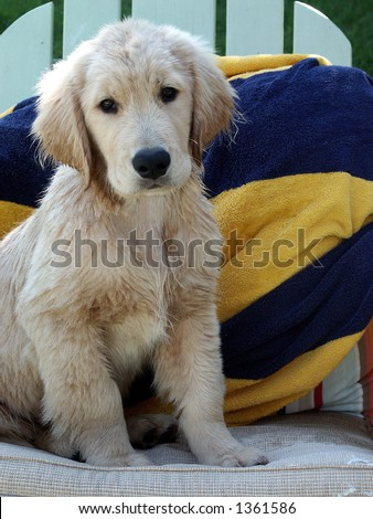 Puppy at the beach. - stock photo