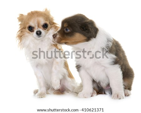 puppy australian shepherd and chihuahua in front of white background