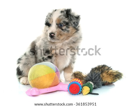 puppy australian shepherd and toys in front of white background