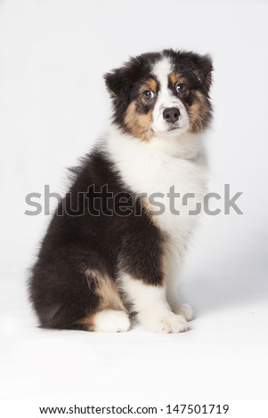 Puppy Australien Shepherd seated