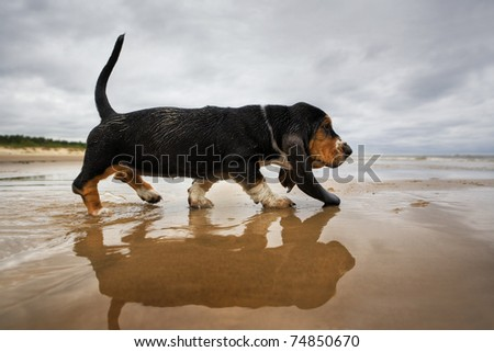 Puppy basset at the beach - stock photo