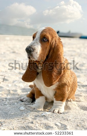 puppy basset hound sitting on sand beach - stock photo