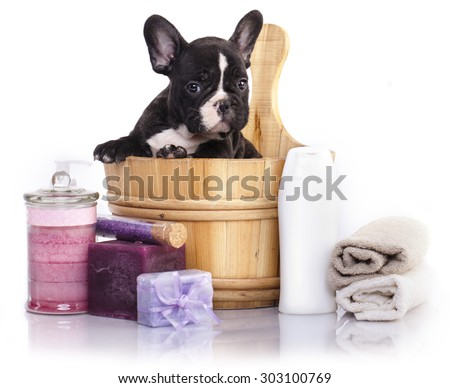puppy bath time - French  bulldog puppy in wooden wash basin with soap suds  - stock photo