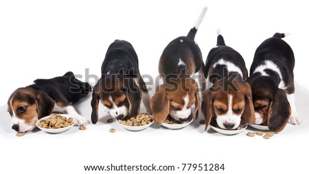 Puppy beagle eat dry food and takes it from each other - stock photo