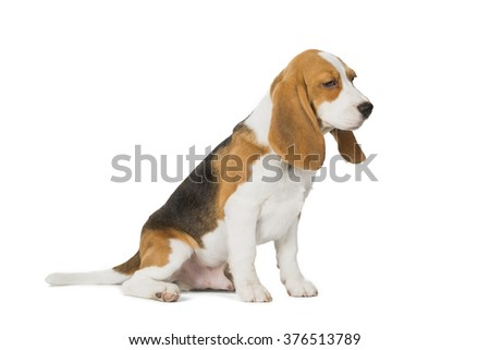 puppy Beagle on white background
