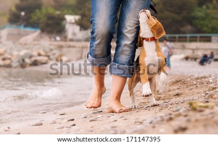 Puppy beagle running near it owner legs. Close up image - stock photo
